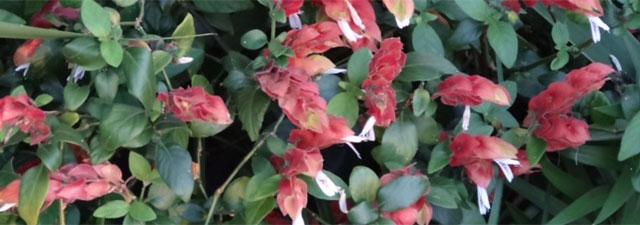 Orlando flowering bushes